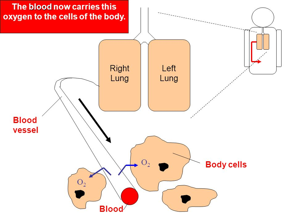 The blood now carries this oxygen to the cells of the body.
