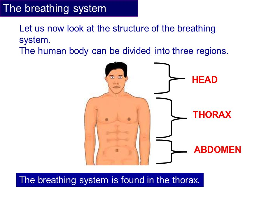 The breathing system Let us now look at the structure of the breathing system. The human body can be divided into three regions.