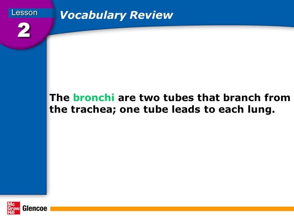 Vocabulary Review The bronchi are two tubes that branch from the trachea; one tube leads to each lung.