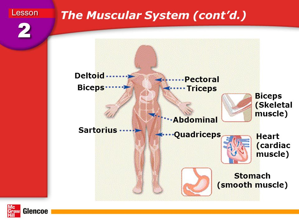 The Muscular System (cont'd.)