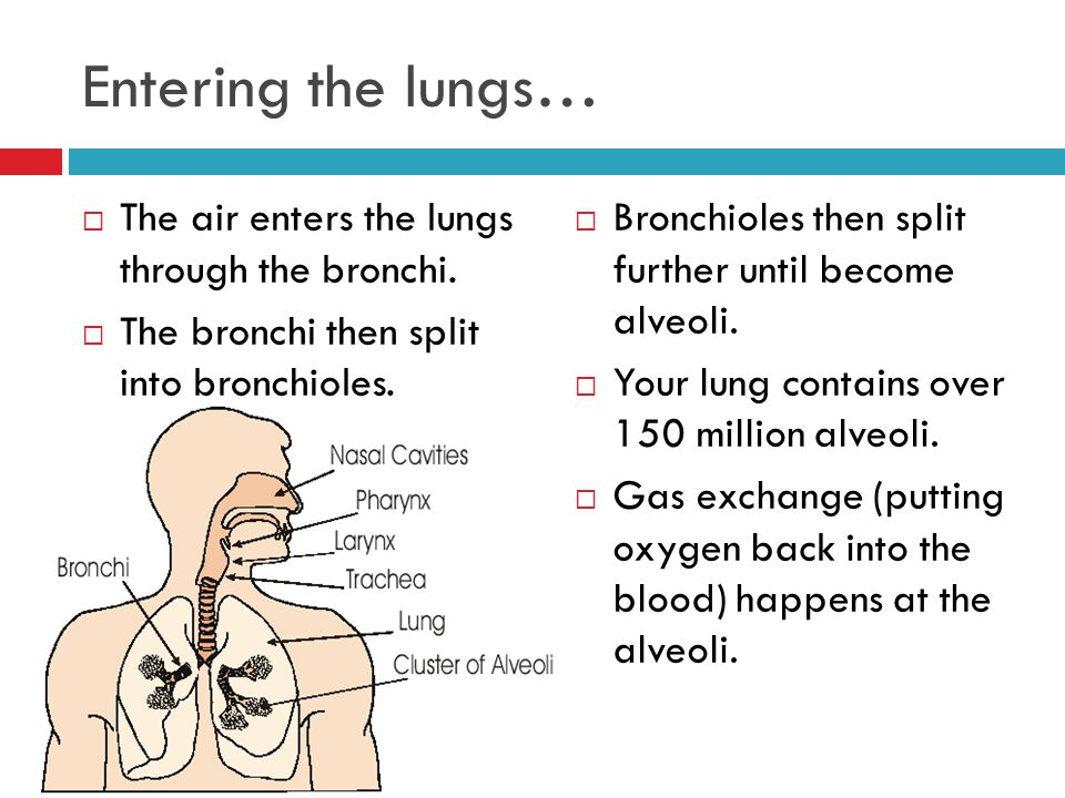 Entering the lungs… The air enters the lungs through the bronchi.