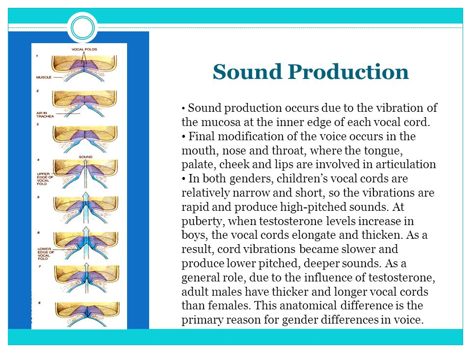 Sound Production Sound production occurs due to the vibration of the mucosa at the inner edge of each vocal cord.