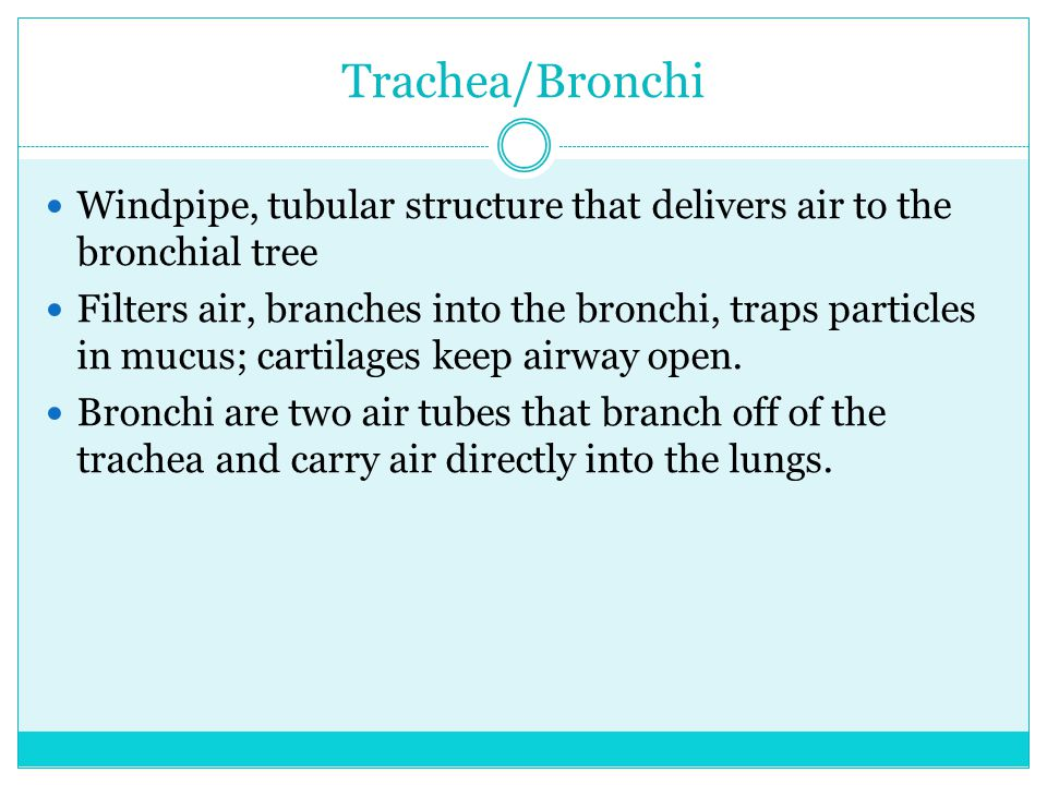 Trachea/Bronchi Windpipe, tubular structure that delivers air to the bronchial tree.