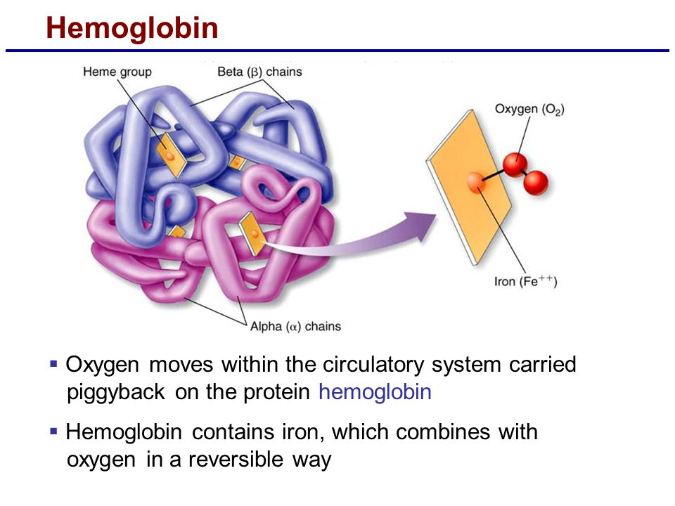 Hemoglobin Oxygen moves within the circulatory system carried piggyback on the protein hemoglobin.