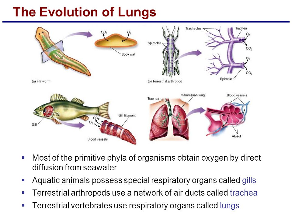 The Evolution of Lungs Most of the primitive phyla of organisms obtain oxygen by direct diffusion from seawater.