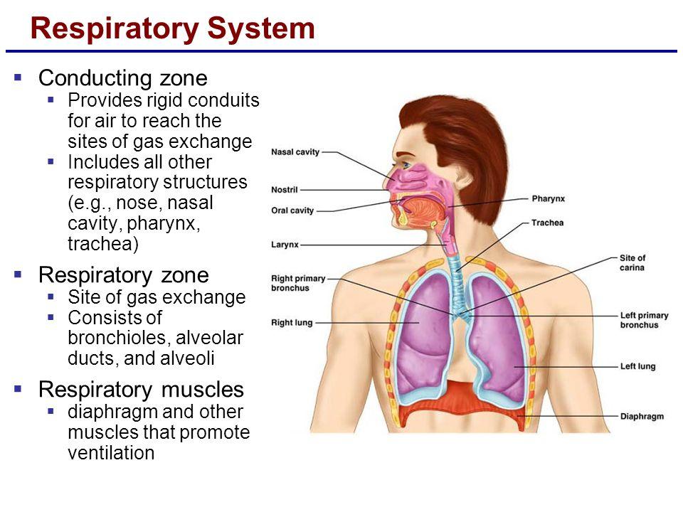 Respiratory System Conducting zone Respiratory zone