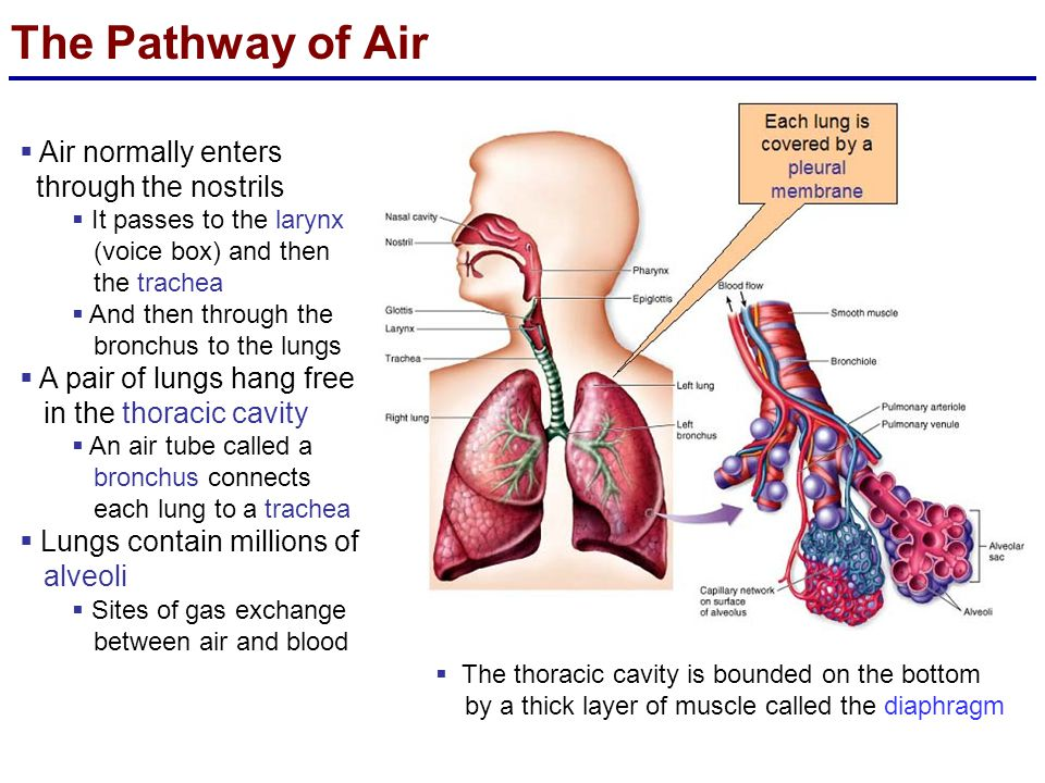 The Pathway of Air Air normally enters through the nostrils
