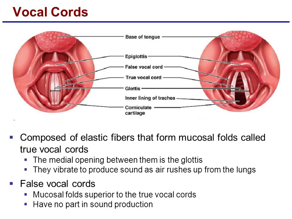Vocal Cords Composed of elastic fibers that form mucosal folds called true vocal cords. The medial opening between them is the glottis.