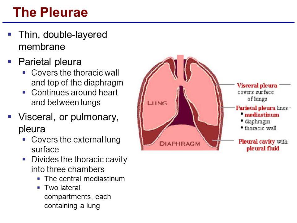 The Pleurae Thin, double-layered membrane Parietal pleura