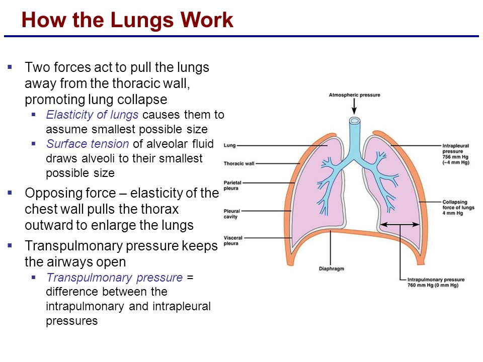 How the Lungs Work Two forces act to pull the lungs away from the thoracic wall, promoting lung collapse.