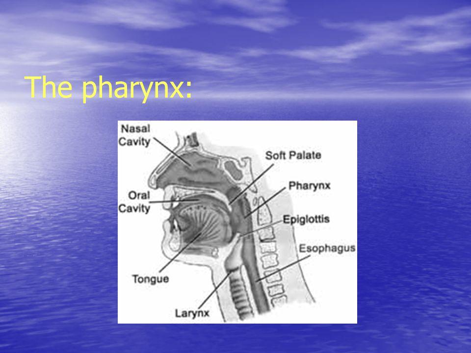 The pharynx: