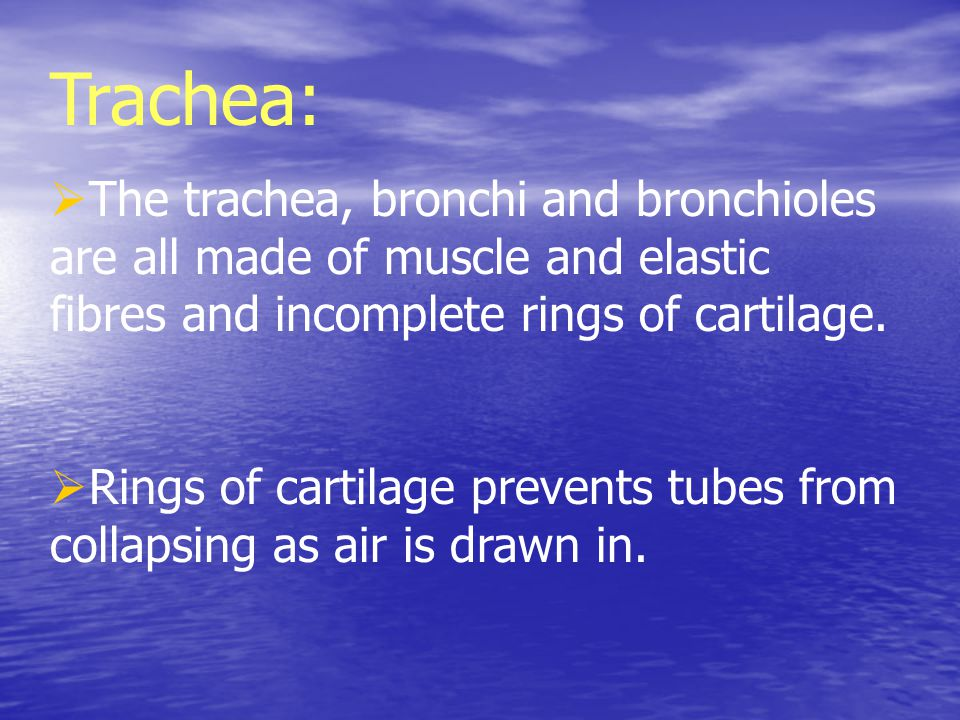 Trachea: The trachea, bronchi and bronchioles are all made of muscle and elastic fibres and incomplete rings of cartilage.