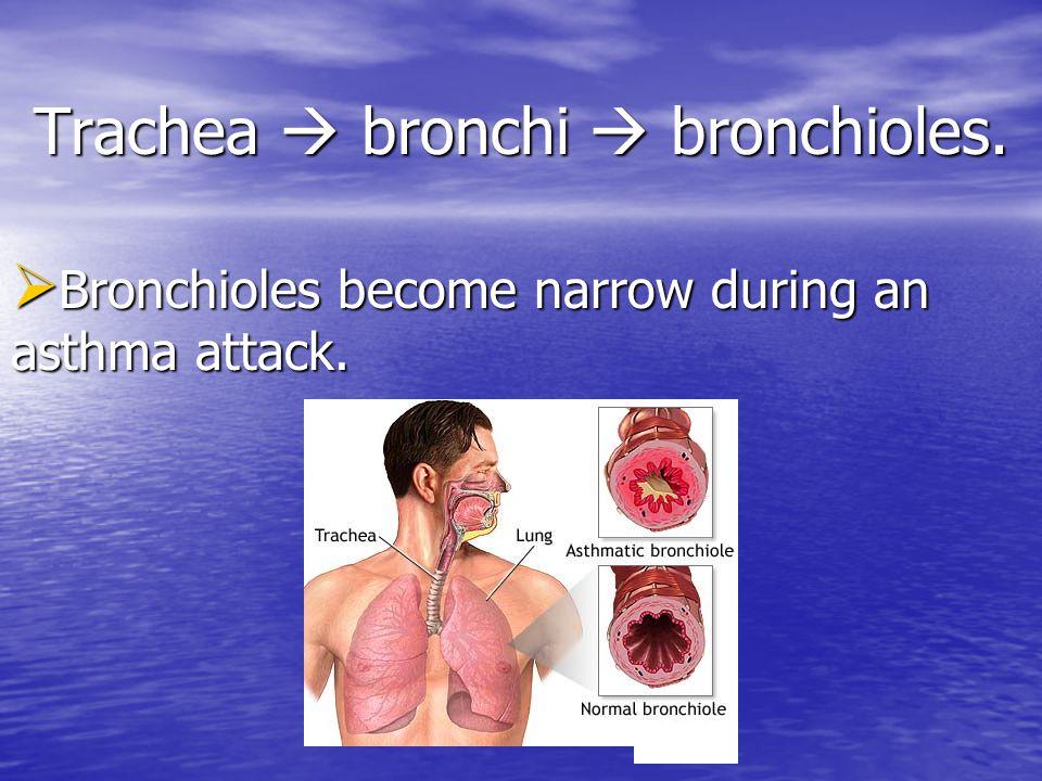 Trachea  bronchi  bronchioles.