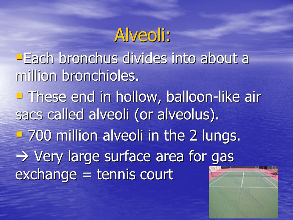 Alveoli: Each bronchus divides into about a million bronchioles.