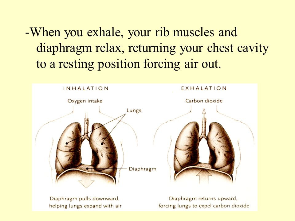 -When you exhale, your rib muscles and diaphragm relax, returning your chest cavity to a resting position forcing air out.