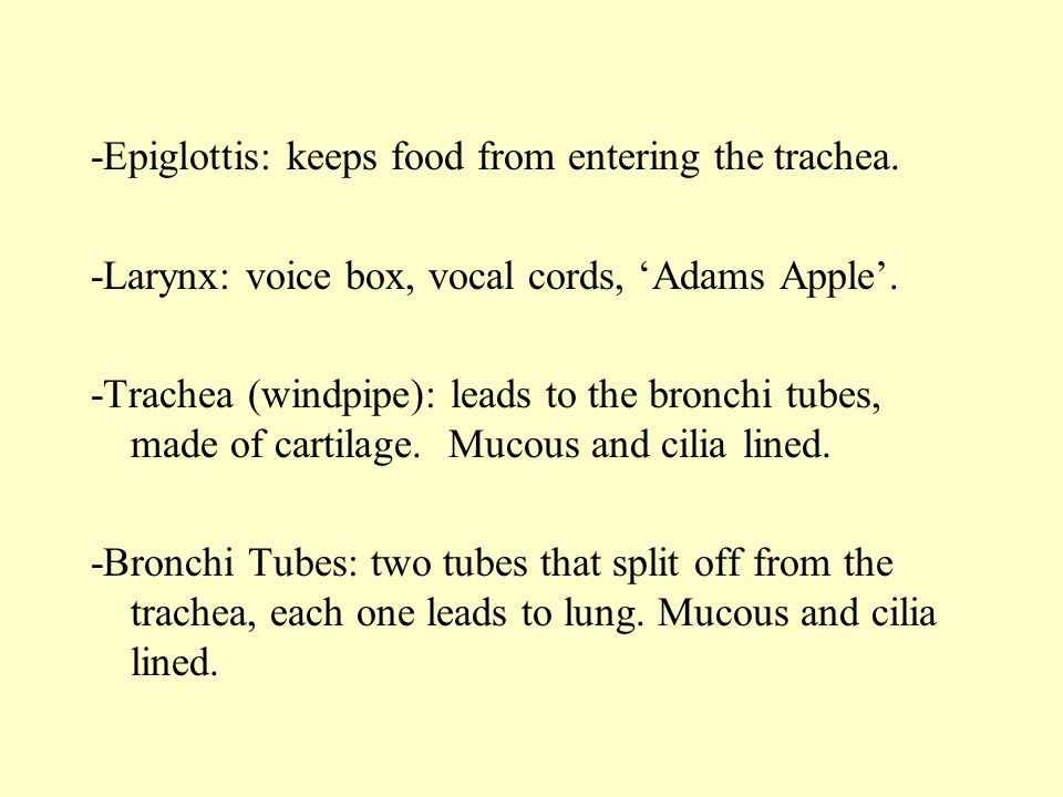 -Epiglottis: keeps food from entering the trachea.