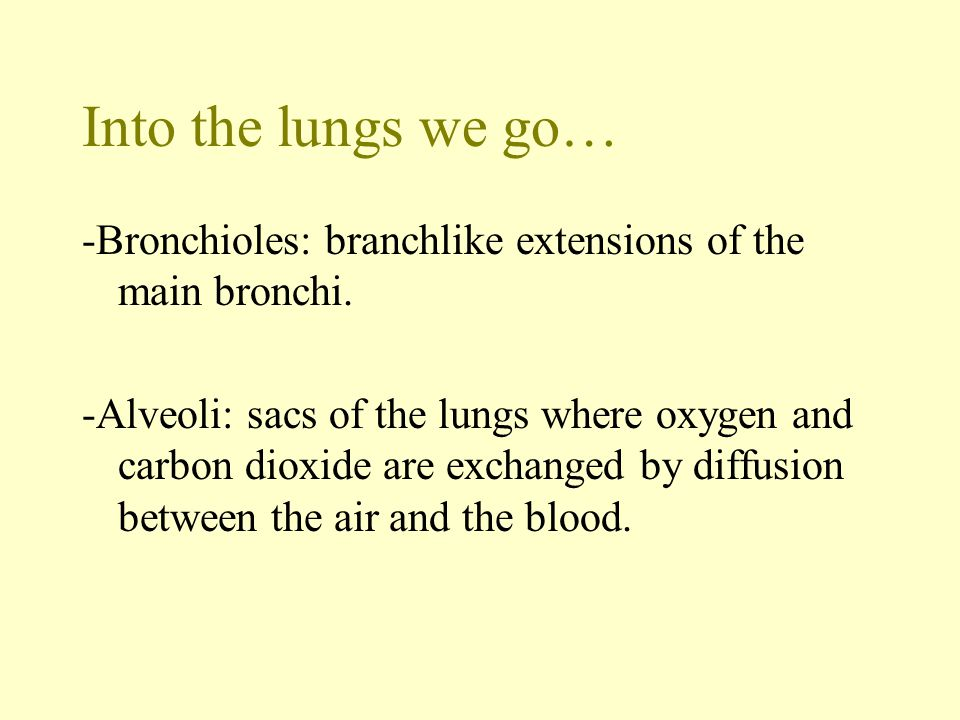 Into the lungs we go… -Bronchioles: branchlike extensions of the main bronchi.