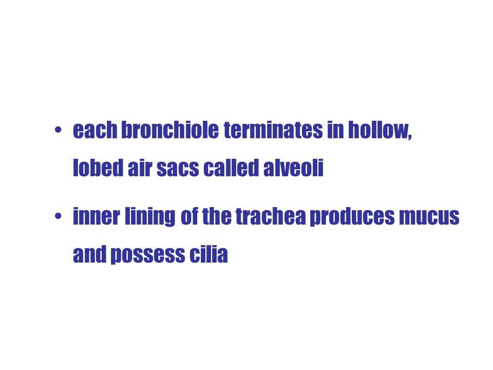 each bronchiole terminates in hollow, lobed air sacs called alveoli
