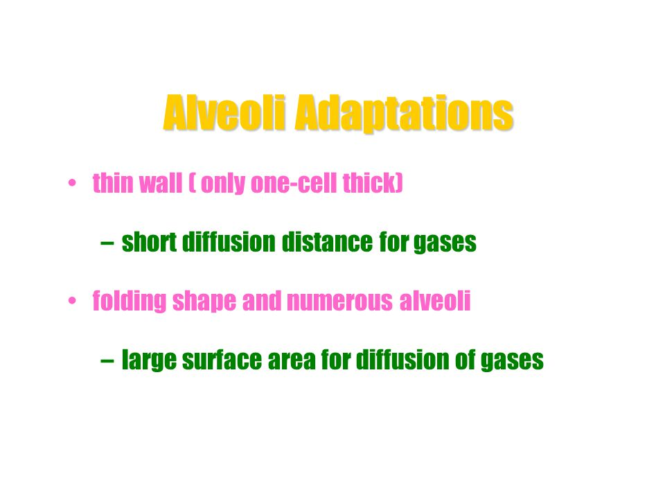 Alveoli Adaptations thin wall ( only one-cell thick)