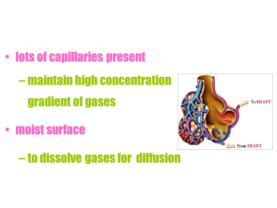 maintain high concentration gradient of gases