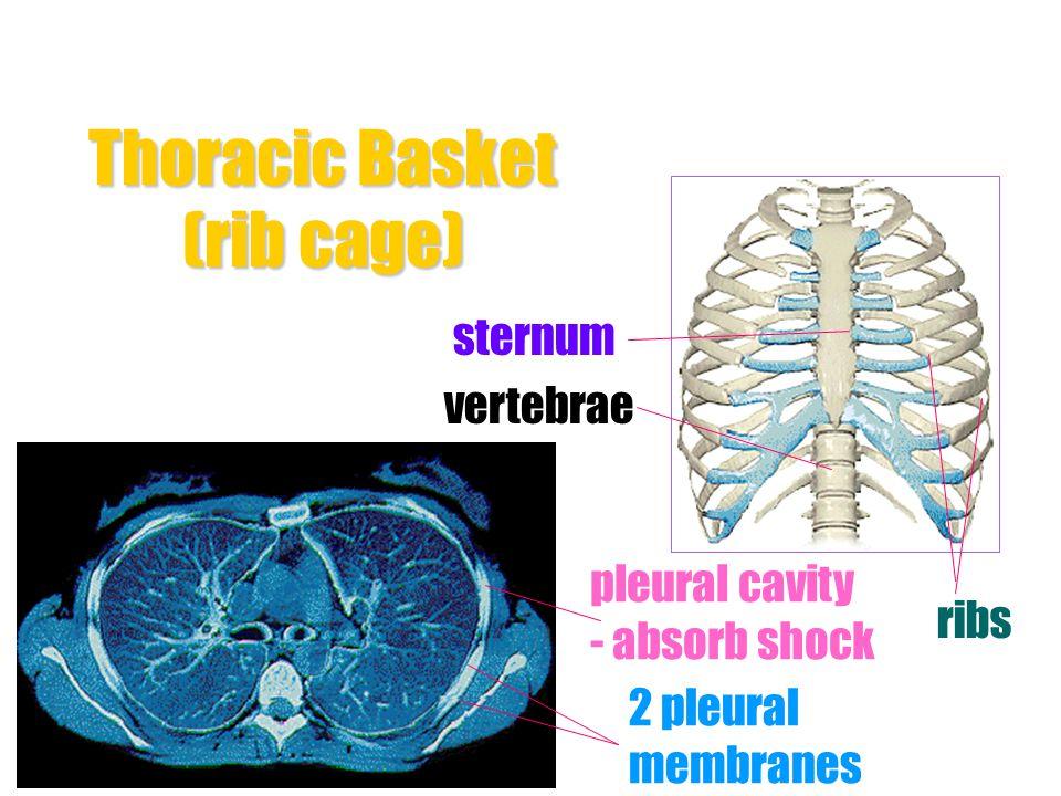 Thoracic Basket (rib cage)
