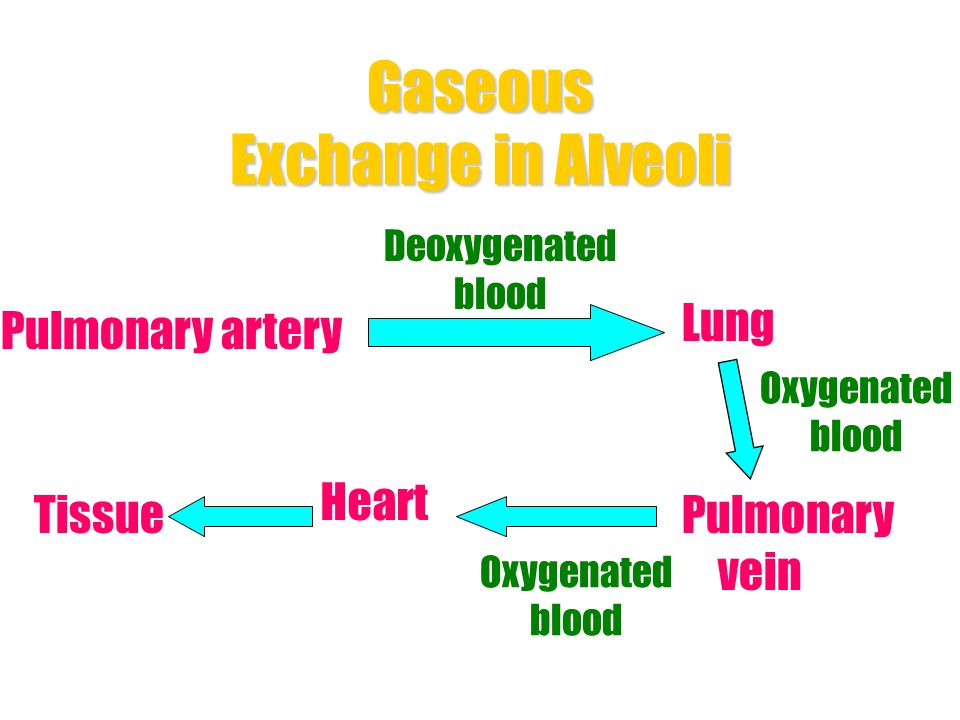Gaseous Exchange in Alveoli