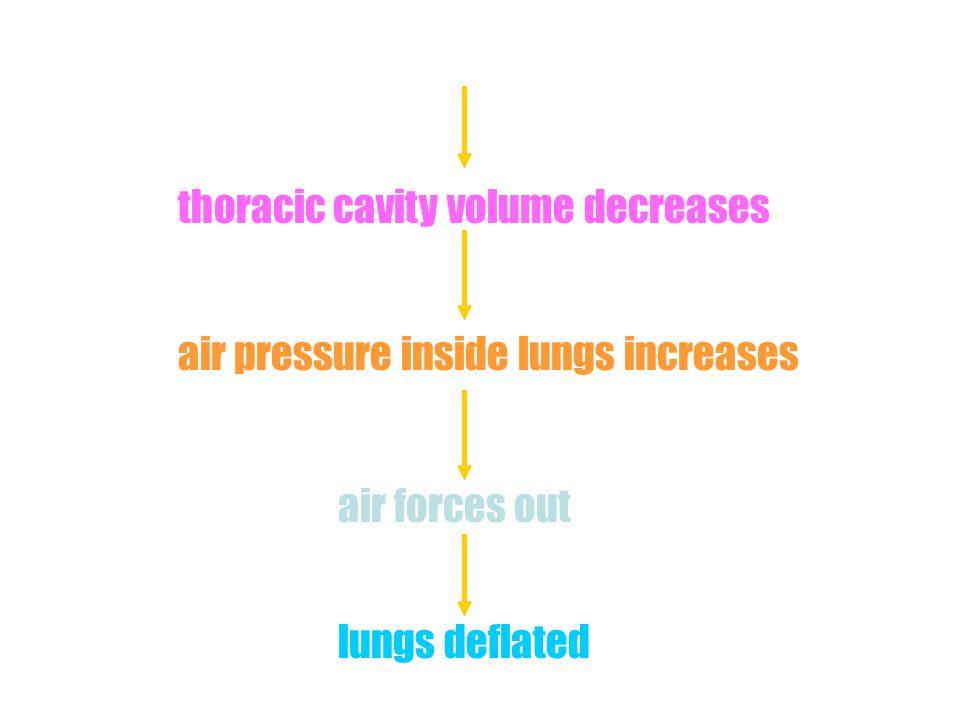 thoracic cavity volume decreases