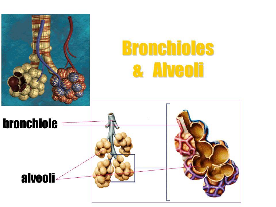 Bronchioles & Alveoli bronchiole alveoli