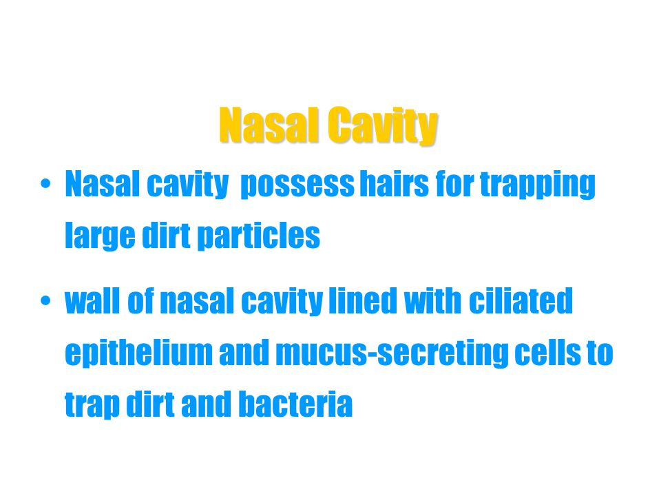 Nasal Cavity Nasal cavity possess hairs for trapping large dirt particles.
