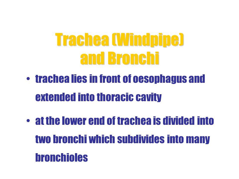Trachea (Windpipe) and Bronchi