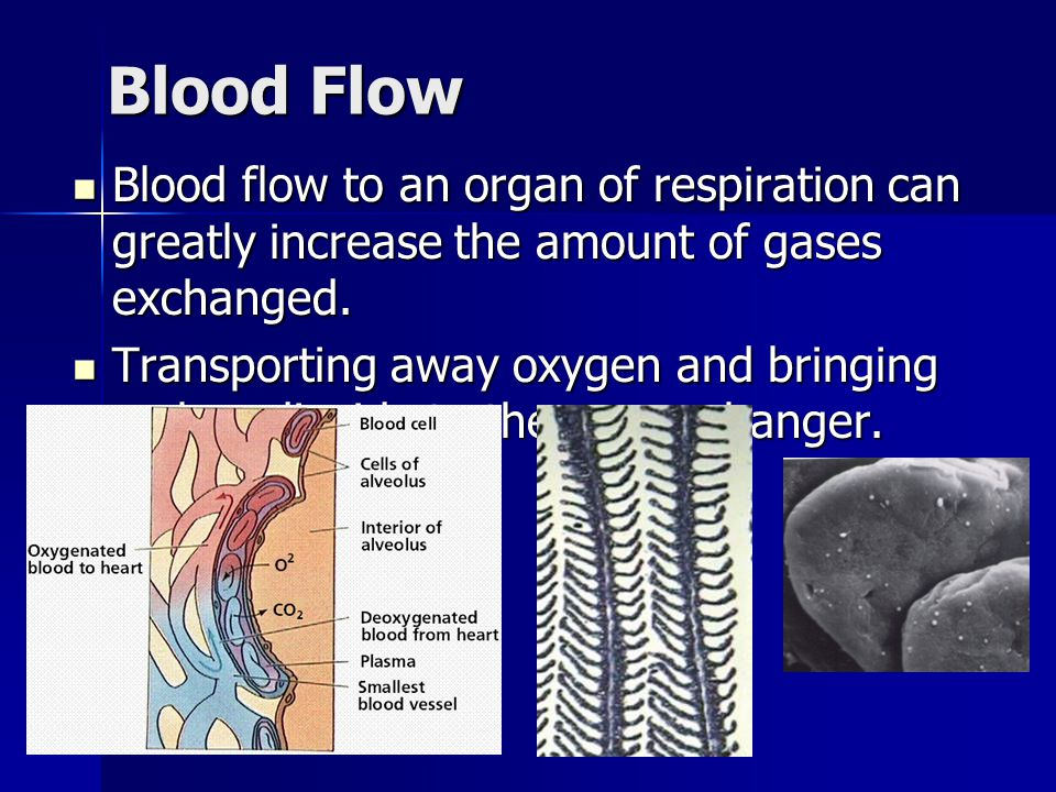 Blood Flow Blood flow to an organ of respiration can greatly increase the amount of gases exchanged.