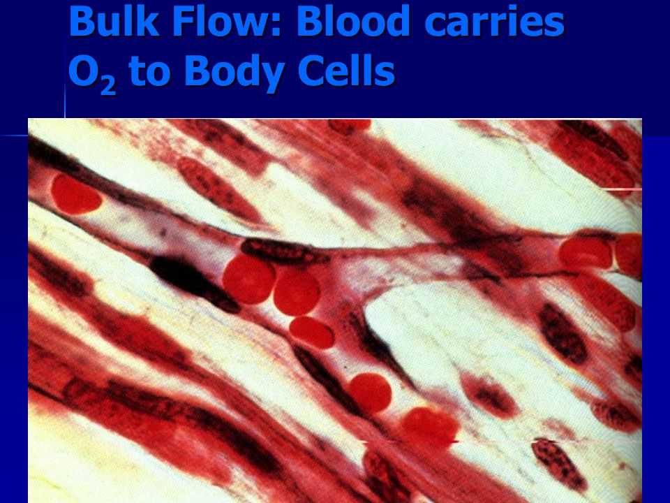 Bulk Flow: Blood carries O2 to Body Cells