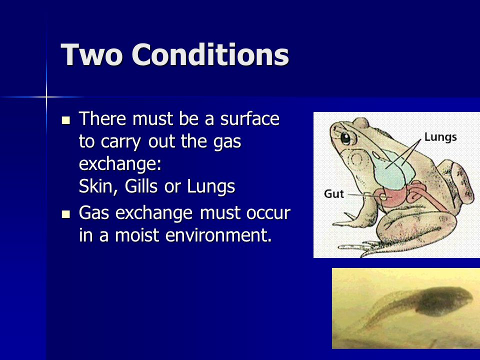 Two Conditions There must be a surface to carry out the gas exchange: Skin, Gills or Lungs.