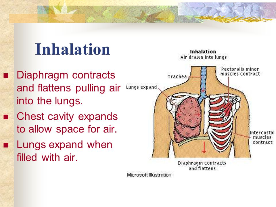Inhalation Diaphragm contracts and flattens pulling air into the lungs. Chest cavity expands to allow space for air.
