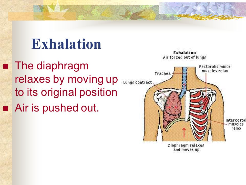 Exhalation The diaphragm relaxes by moving up to its original position