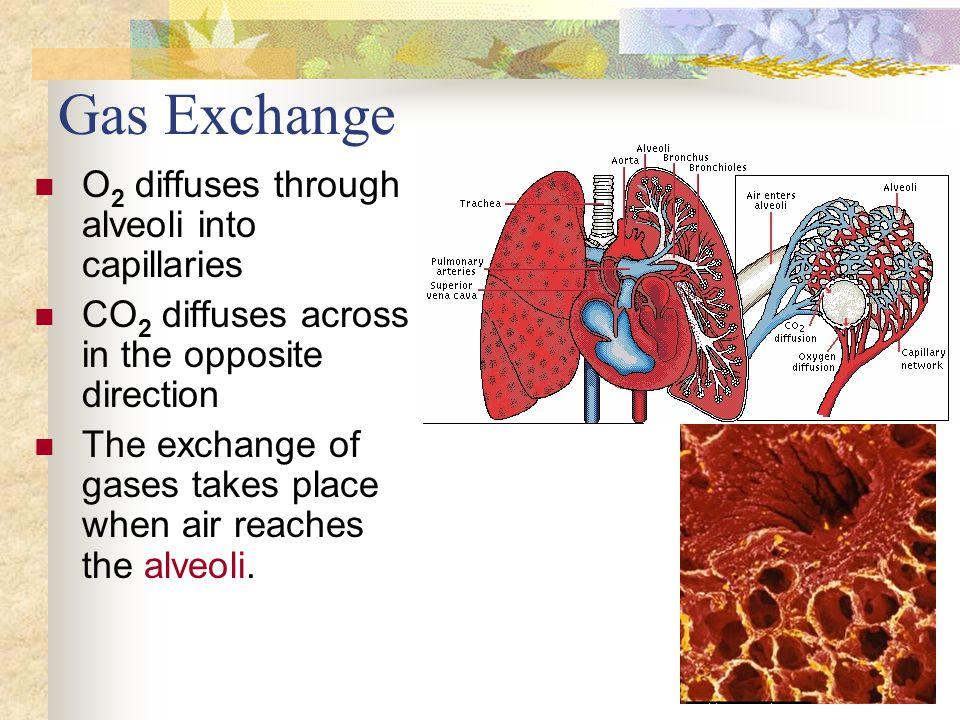 Gas Exchange O2 diffuses through alveoli into capillaries