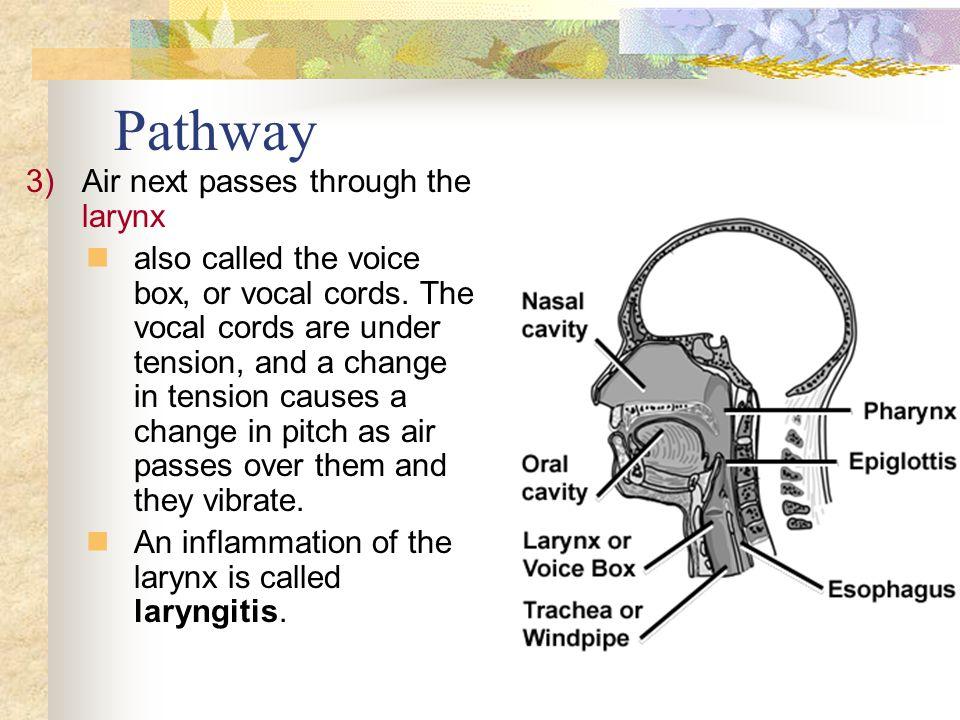 Pathway Air next passes through the larynx