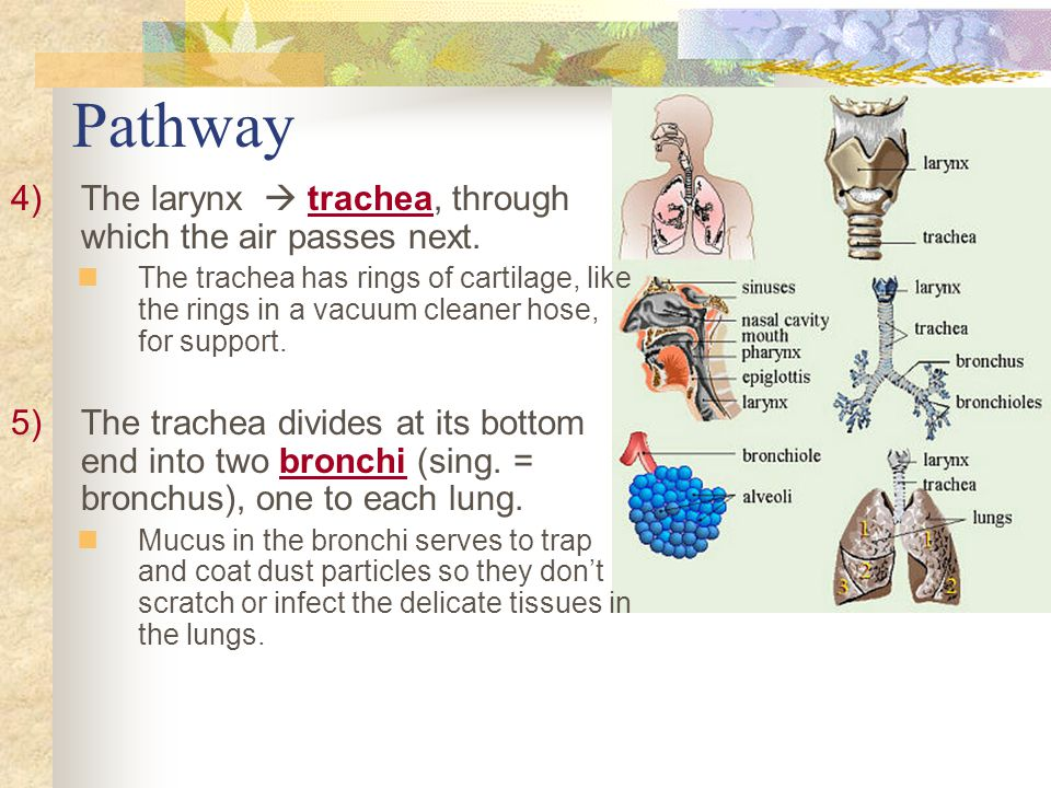 Pathway The larynx  trachea, through which the air passes next.