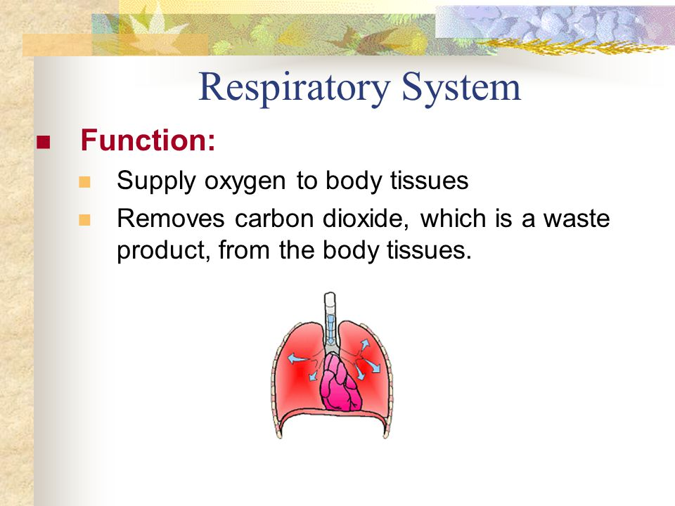 Respiratory System Function: Supply oxygen to body tissues