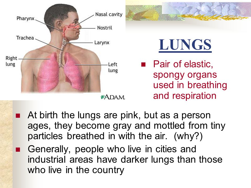 LUNGS Pair of elastic, spongy organs used in breathing and respiration