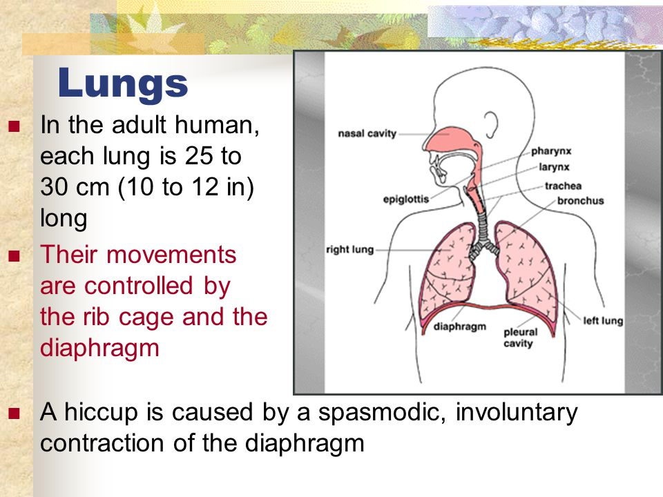 Lungs In the adult human, each lung is 25 to 30 cm (10 to 12 in) long