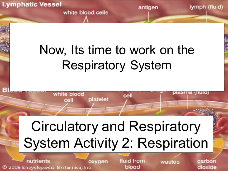 Circulatory and Respiratory System Activity 2: Respiration