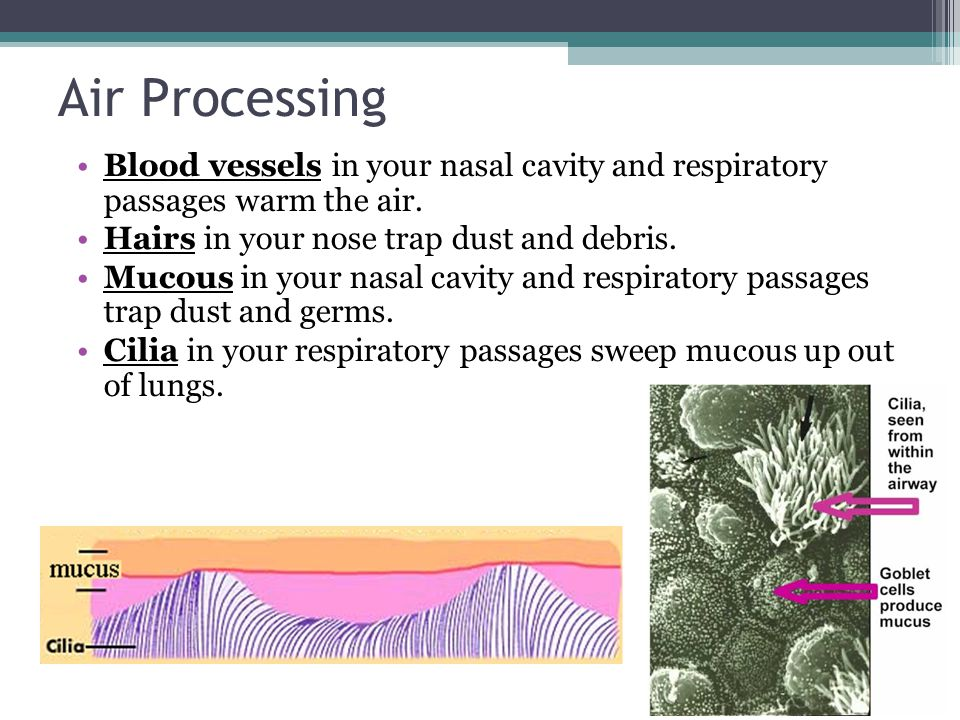 Air Processing Blood vessels in your nasal cavity and respiratory passages warm the air. Hairs in your nose trap dust and debris.