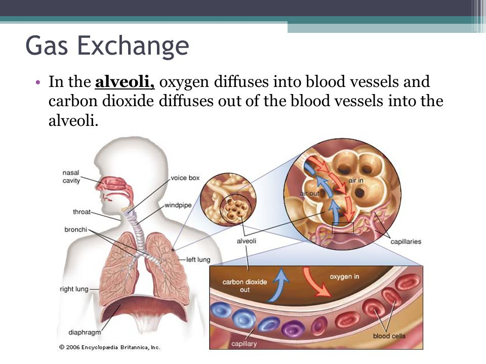 Gas Exchange In the alveoli, oxygen diffuses into blood vessels and carbon dioxide diffuses out of the blood vessels into the alveoli.