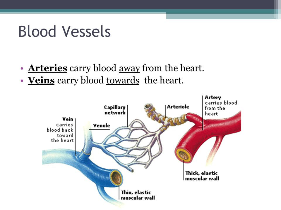 Blood Vessels Arteries carry blood away from the heart.