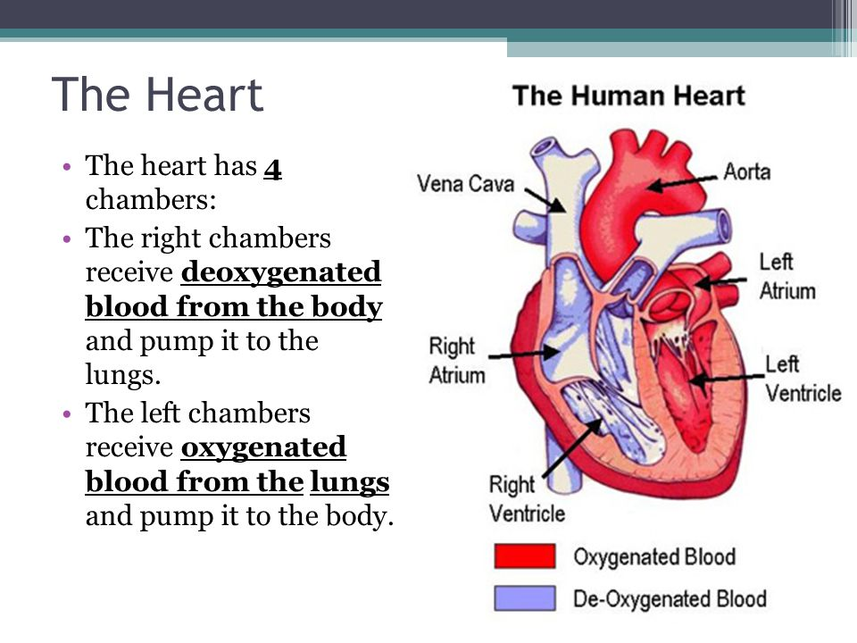 The Heart The heart has 4 chambers: