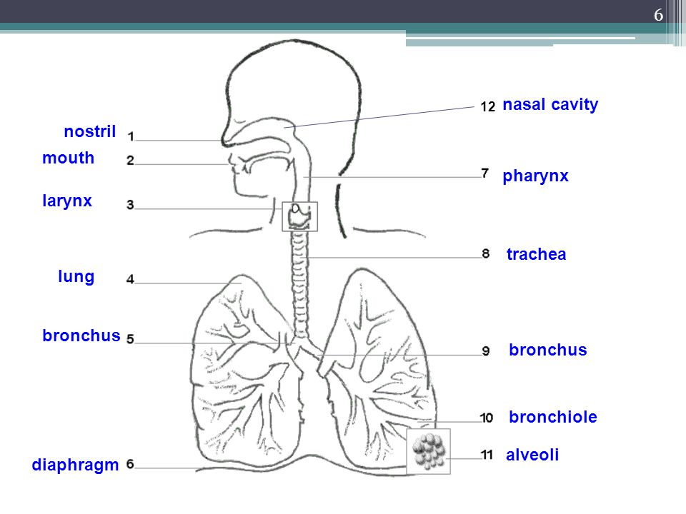 nasal cavity nostril mouth pharynx larynx trachea lung bronchus