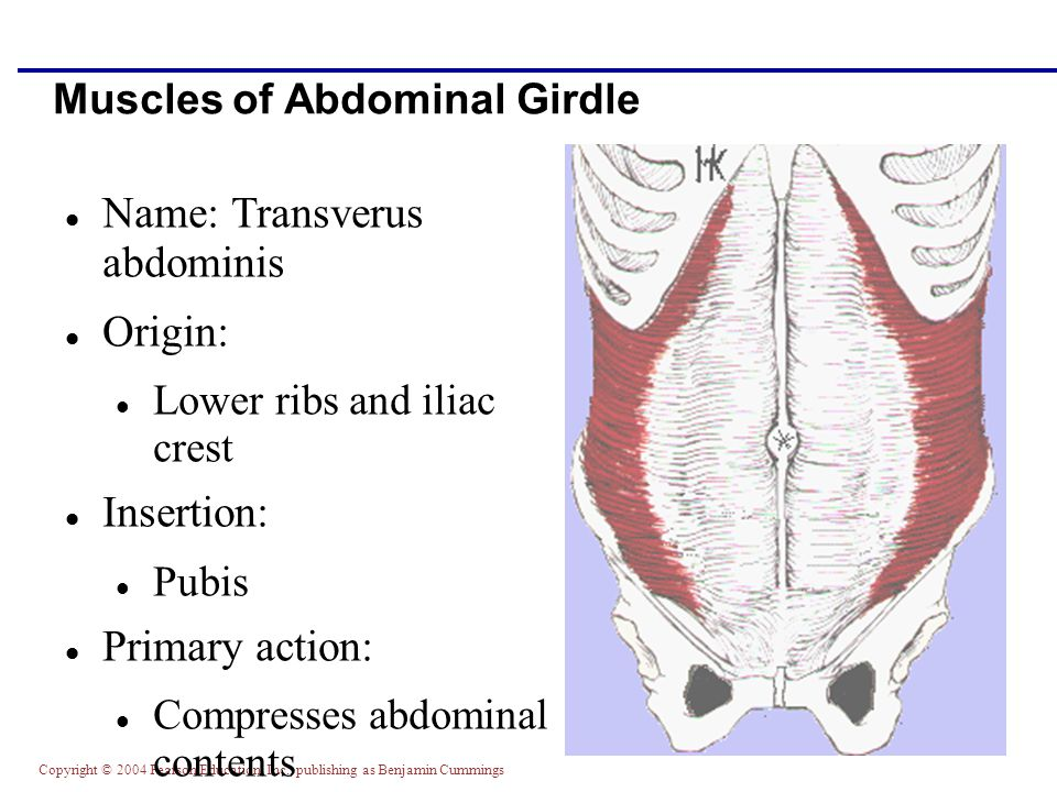 Muscles of Abdominal Girdle