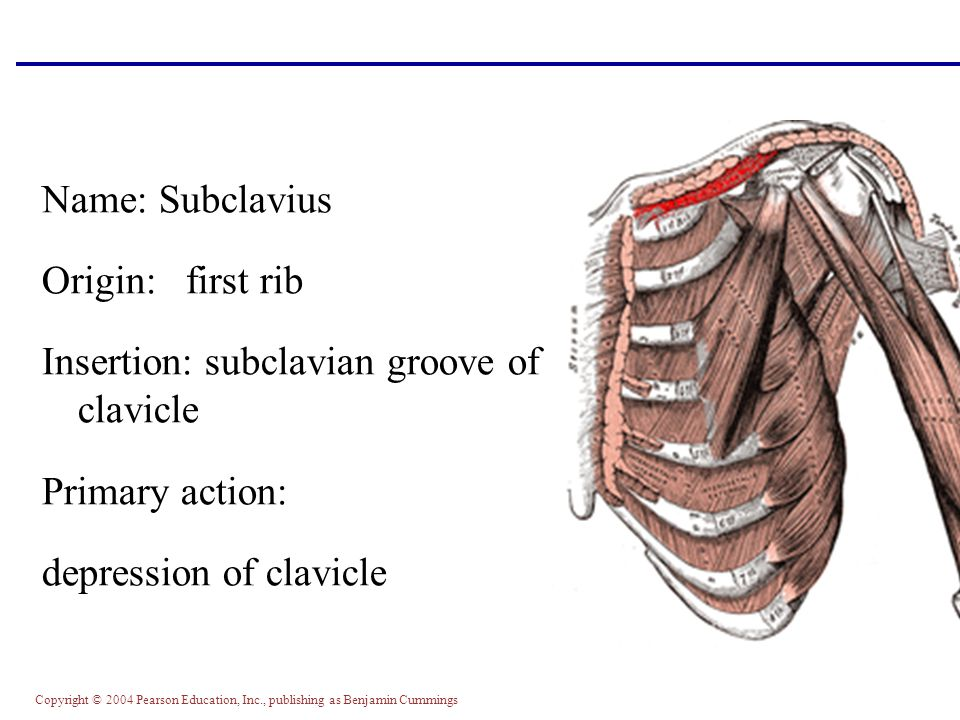 Name: Subclavius Origin: first rib. Insertion: subclavian groove of clavicle.