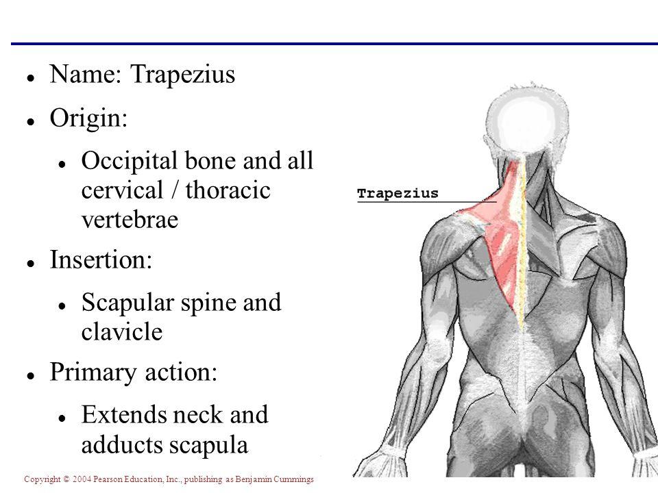 Name: Trapezius Origin: Insertion: Primary action: